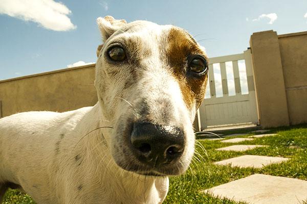 photographe animalier Reims chien, jack russel dans un jardin de particulier