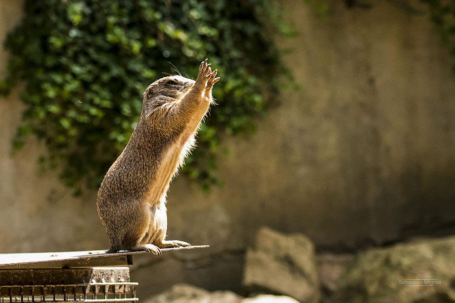 Photographe animalier Reims, shooting photo Zoo, chien de prairie Zoo, Photographie couleur