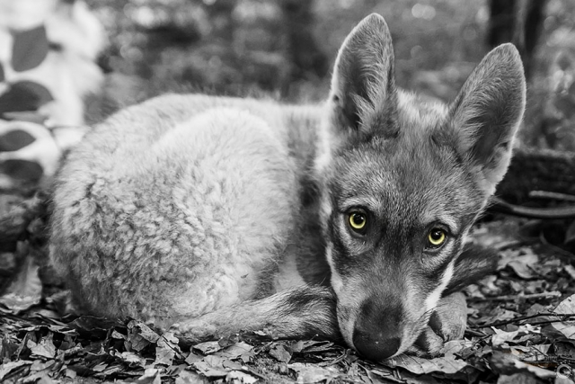 Photographe animalier Reims, shooting photo en forêt, chien loup Saarloos, noir et blanc sépia