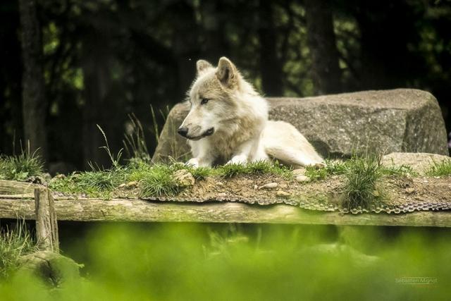 Photographe animalier Reims, shooting photo Zoo, Loup blanc Arctic en Zoo, Photographie couleur