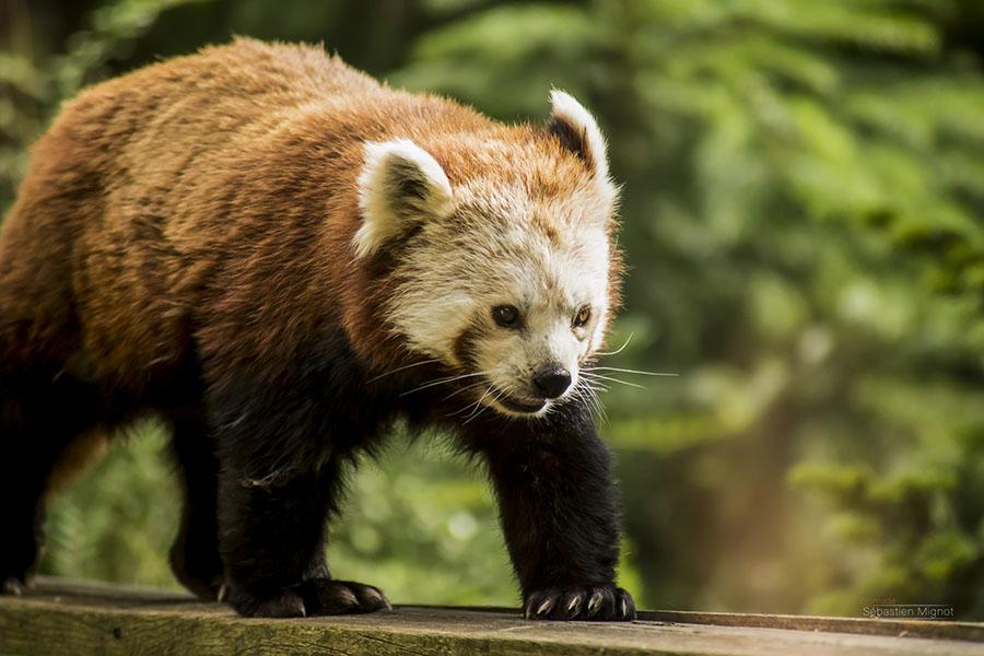 Photographe animalier Reims, shooting photo zoo, Panda Roux , Photographie couleur