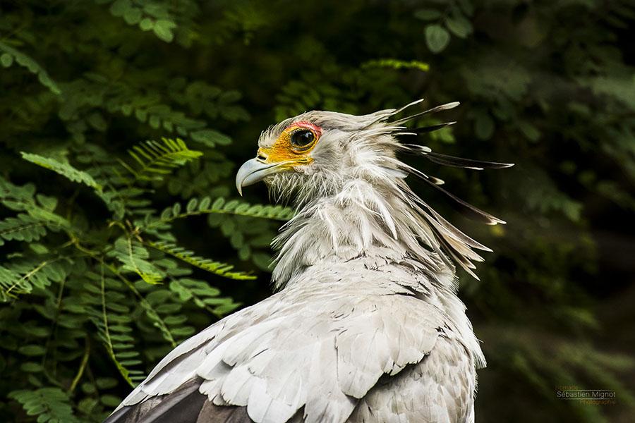 Photographe animalier Reims, shooting photo zoo, Oiseau Serpentaire, Photographie couleur