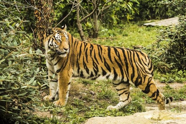 Photographe animalier Reims, shooting photo zoo, Tigre du Bengale , Photographie couleur