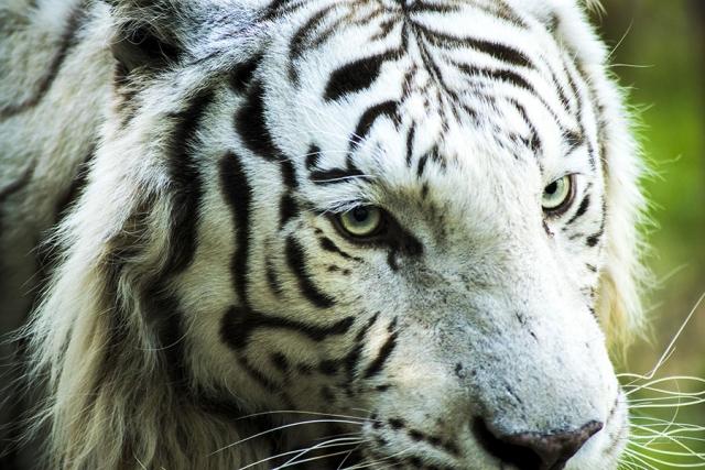 Photographe animalier Reims, shooting photo zoo, Tigre blanc arctic , Photographie couleur